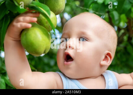 Cute caucasian baby boy picking up fresh ripe green pear from tree in orchard in bright sunny day. Funny child biting delicious fruit and want to eat - Stock Photo
