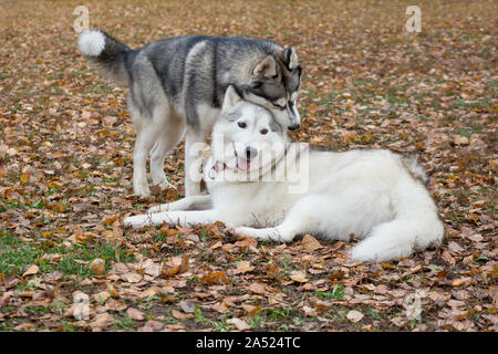 Two cute siberian husky are playing in the autumn park. Pet animals. Purebred dog. - Stock Photo