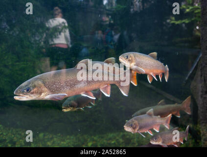 Large trout in water at Universeum, Gothenburg.Photo Jeppe Gustafsson - Stock Photo