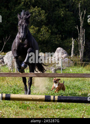 Loose jumping with horses at Fölseryds farm. And a dog.Picture Jeppe Gustafsson - Stock Photo
