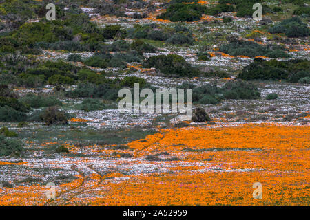 Spring flower carpets, Postberg section, West Coast National Patk, South Africa - Stock Photo