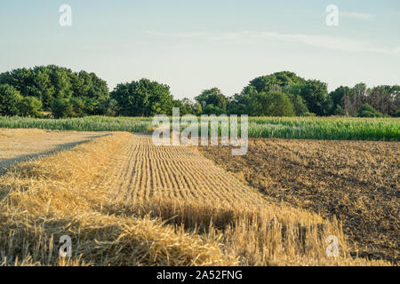 A harvested wheat field in front of corn field. Scene on a sunny July evening. - Stock Photo