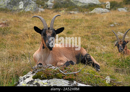 Goat in the mountains in South Tyrol - Stock Photo