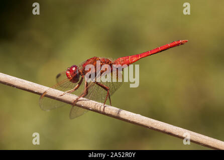 Crocothemis erythraea broad scarlet common scarlet-darter scarlet darter and scarlet dragonfly insect of intense red color very common in Andalusia na - Stock Photo