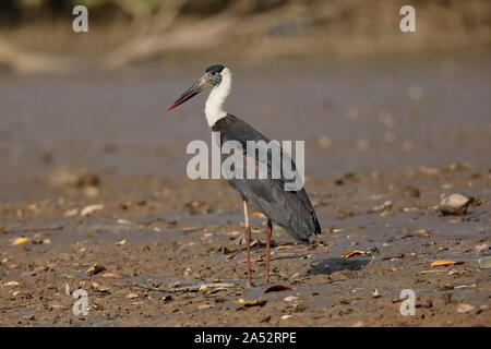 The woolly-necked stork or whitenecked stork is a large wading bird in the stork family Ciconiidae. - Stock Photo