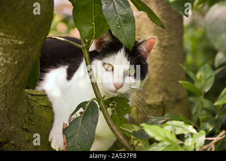 A black and white country cat using the fork of a wild cherry tree as a vantage point for hunting prey in UK - Stock Photo