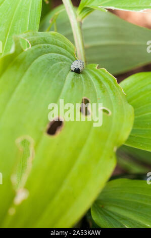 Leaf damage caused by Sawfly Larvae  Phymatocera aterrima on Polygonatum Solomons Seal leaf in early summer - Stock Photo
