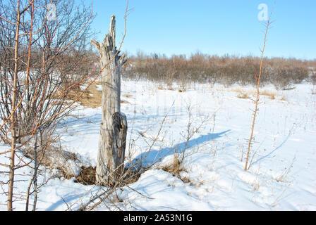 Old apple tree stump on winter landscape background, blue sky - Stock Photo