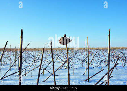 Dry weathered sunflowers stems and one whole flower on field covered with  white snow, bright blue sky - Stock Photo