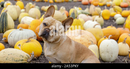 French Bulldog posing in front of Pumpkin Patch - Stock Photo