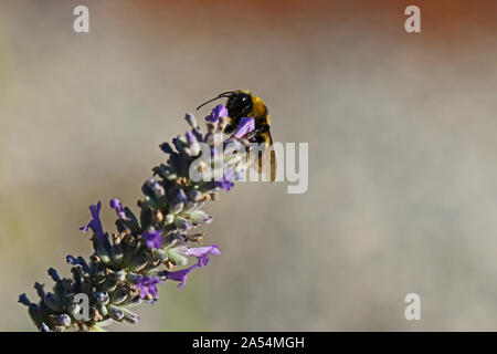 white tailed bumble bee or bumblebee Latin bombus lucorum similar to bombus terrestris family apidae feeding on a lavender bush in summer in Italy - Stock Photo