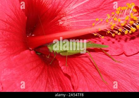 male great green bush cricket or katydid Latin tettigonia viridissima on a  red Chinese or Hawaiian hibiscus malva sinensis or rose mallow shoeblack - Stock Photo