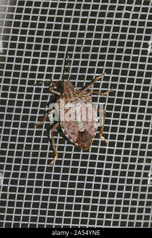 brown marmorated stink bug Latin halyomorpha halys from the pentatomidae family on a screen door in Italy a serious pest in Europe and the USA - Stock Photo
