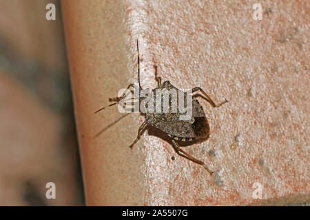 brown marmorated stink bug or shield bug Latin halyomorpha halys from the pentatomidae family native to China and Asia a serious pest in Italy and USA - Stock Photo