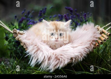 lying German Longhair kitten - Stock Photo