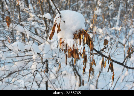Dry ash tree (Fraxinus) seeds on twig covered with snow, blurry background - Stock Photo