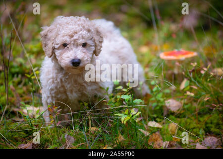Miniature Apricot Poodle Puppy Posing next to a red Mushroom - Stock Photo