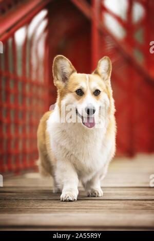 male Welsh Corgi Pembroke - Stock Photo