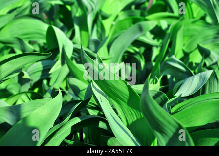 Bright green growing iris leaves close up, natural organic background top view - Stock Photo