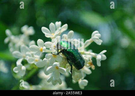 Cetonia aurata (rose chafer, green rose chafersitting) beetle sitting on white lilac flowers close up detail, soft blurry blue sky background - Stock Photo