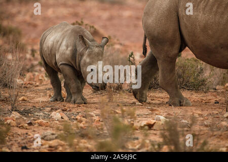 Rhinoceros and calf in nature reserve, Touws River, Western Cape, South Africa - Stock Photo