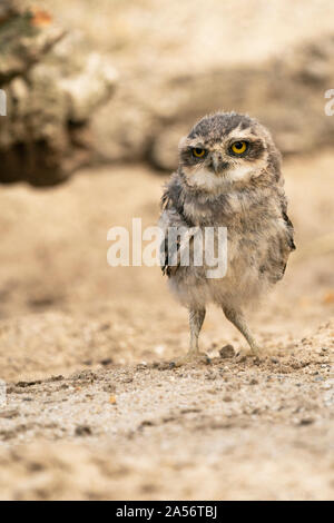 young Athene cunicularia owl standing in the sand in Diessen,Netherlands - Stock Photo