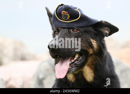 VADSTENA 20190905Schäfern Tass, 6-year-old police dog from Lidköping, during Swedish Championships in Police-dog., which this year is held in Vadstena. A police dog, known in some English-speaking countries as a 'K-9' or 'K9' (a homophone of 'canine'), is a dog that is specifically trained to assist police and other law-enforcement personnel. Photo Jeppe Gustafsson - Stock Photo