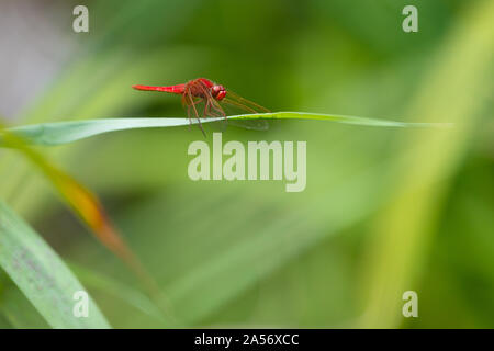 Scarlet Darter dragonly (Crocothemis erythraea), standing on a reed leaf. - Stock Photo