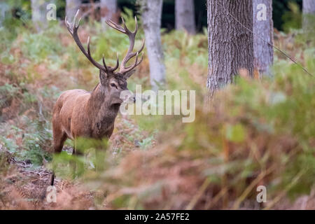 Red stag with antlers, photographed in autumn in countryside near Burley, New Forest, Hampshire - Stock Photo
