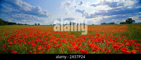 Poppies in a field, Norfolk, England - Stock Photo