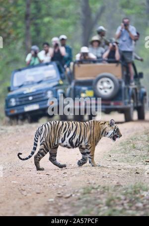 Tourists in safari jeeps photographing an Bengal tiger (Panthera tigris tigris), India - Stock Photo