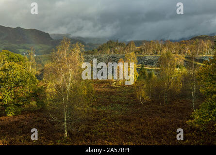 Silver Birch Trees in Autumn at Hodge Close Quarry near Coniston in the Lake District National Park Cumbria - Stock Photo