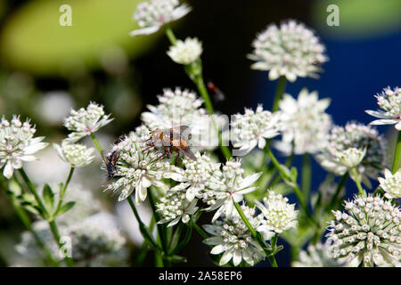 Igelfliege (Tachina fera) auf einer Sterndolde (Astrantia major) - Stock Photo
