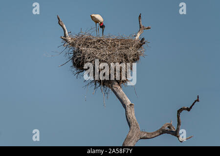 Jabiru Stork Feeding Chicks - Stock Photo