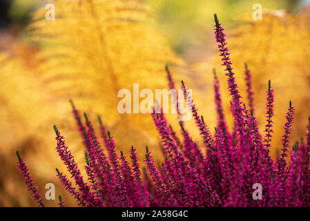 Common Heather, Calluna vulgaris, in full bloom, purple flowers among ostrich fern leaves in autumn garden, selective focus and shallow DOF - Stock Photo