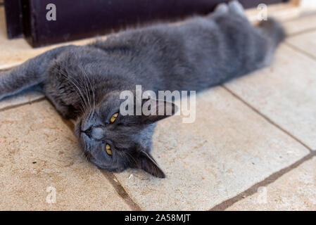 stray cat with yellow eyes lying on the floor, dirty grey cat - Stock Photo