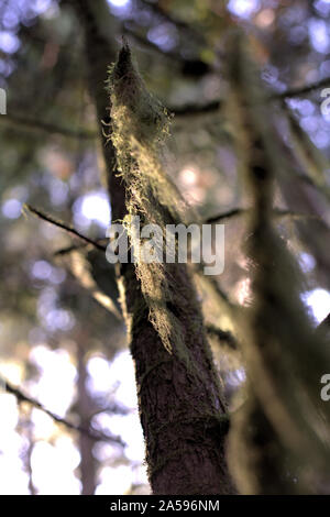 An artistic closeup of old man's beard lichen (a species of Usnea) covering a tree branch, in the morning light of autumn, in the Pacific Northwest (B - Stock Photo