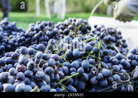 Baskets of Ripe bunches of black grapes outdoors. Autumn grapes harvest in vineyard on grass ready to delivery for wine making. Cabernet Sauvignon - Stock Photo