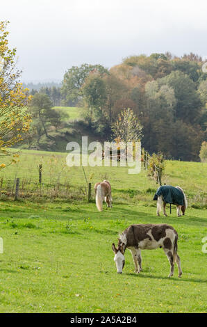 Equus africanus asinus, domestic donkey on a pasture in the countryside - Stock Photo