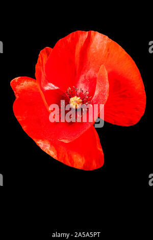 Studio close-up of a single poppy (Papaver rhoeas) blossom without stems in front of black background. - Stock Photo