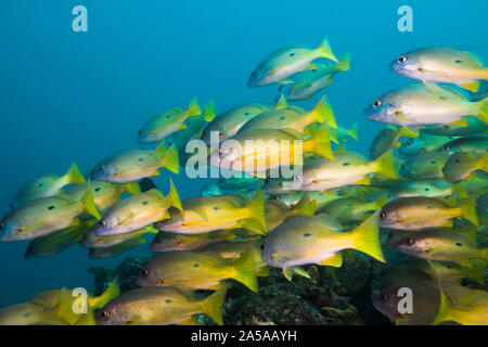 A school of Dory Snapper fish or Longspot snapper (Lutjanus fulviflamma). Bright yellow body with black spot. - Stock Photo