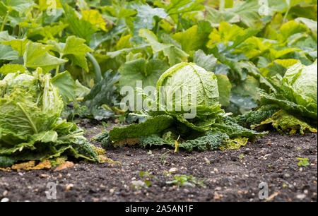 Cabbages growing in a vegetable patch - Stock Photo