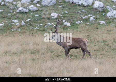 The mighty Red deer male (Cervus elaphus) - Stock Photo