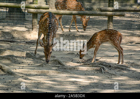 Rehe/deer im Zoo Punta Verde in Lignano (Italien) / Tierpark in Lignano / Sehenswürdigkeit in Lignano (Italien) - Stock Photo
