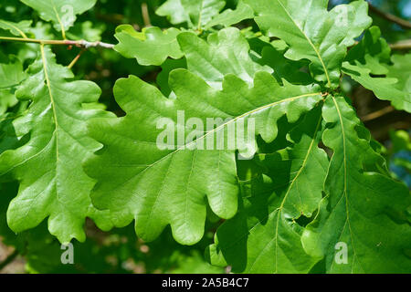 Leaves of a Common oak (Quercus robur) in spring - Stock Photo