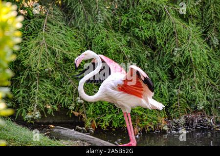 Pelikan im Zoo Punta Verde in Lignano (Italien) / Tierpark in Lignano / Sehenswürdigkeit in Lignano (Italien) - Stock Photo