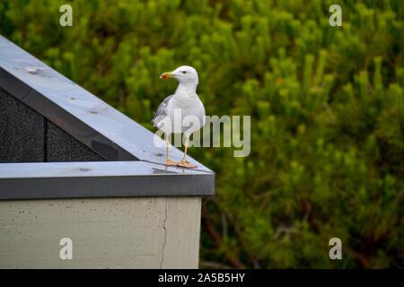 Möwe in Bibione auf einem Dach ( Italien) - Stock Photo