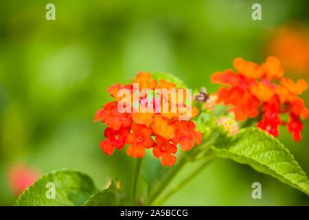 Lantana Camara Flowers in the Garden - Stock Photo