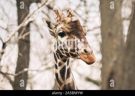 Portrait of a young male Reticulated Giraffe, Giraffa camelopardalis reticulata. Close up portrait of Masai giraffe. Giraffe head detail - Stock Photo