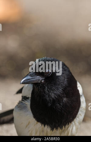 close up head shot of Eurasian Magpie pica pica in garden uk norfolk - Stock Photo